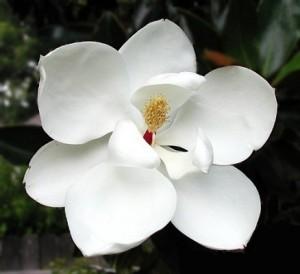 Magnolia-grandiflora-Little-Gem--littlegemtrees--CC-BY-SA