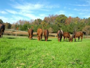 Horses grazing in pasture under blue sky