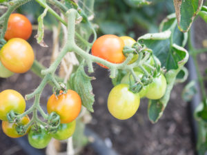 Small tomatoes on vine