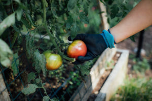 hand picking tomato. Image Credit: Laurel Babcock