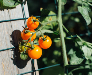 sungold tomatoes with trellis background