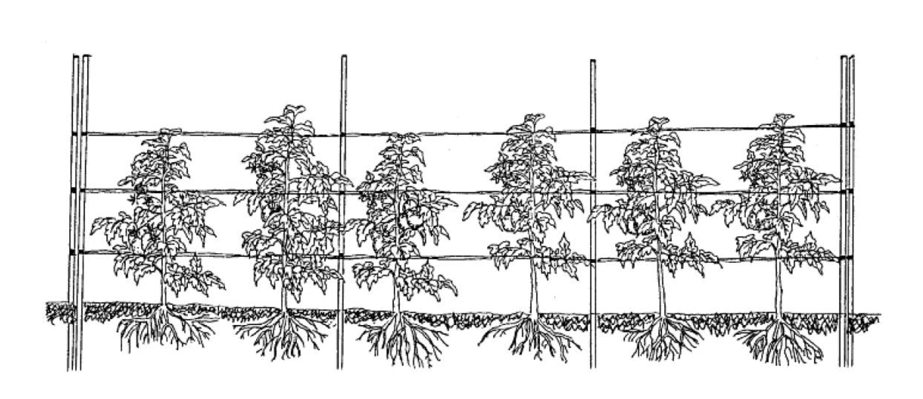 Florida weave system used to support determinate tomatoes. Image Credit: UNH Extension