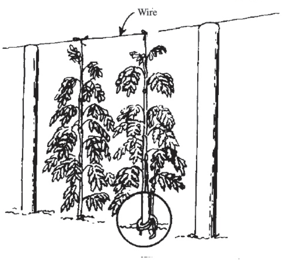 Overhead trellis system for large, indeterminate vines. Image Credit: MSU Extension