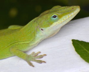Close up of the watchful eye of a Green anole (Anolis carolinensis). Photo taken by Wendy Diaz April 3, 2020