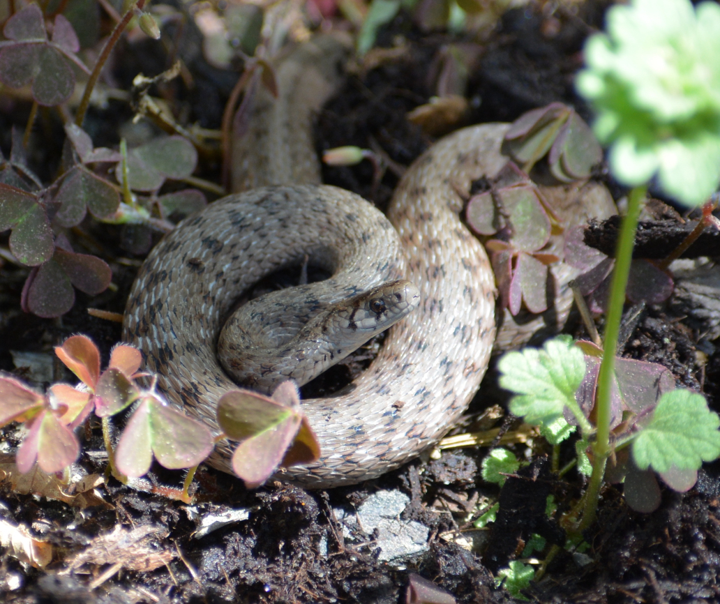 Possibly a small brown snake