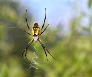 Cover photo for Just in Time for Halloween: Chatham Conservation Partnership Virtual Meeting to Focus on SPIDERS!