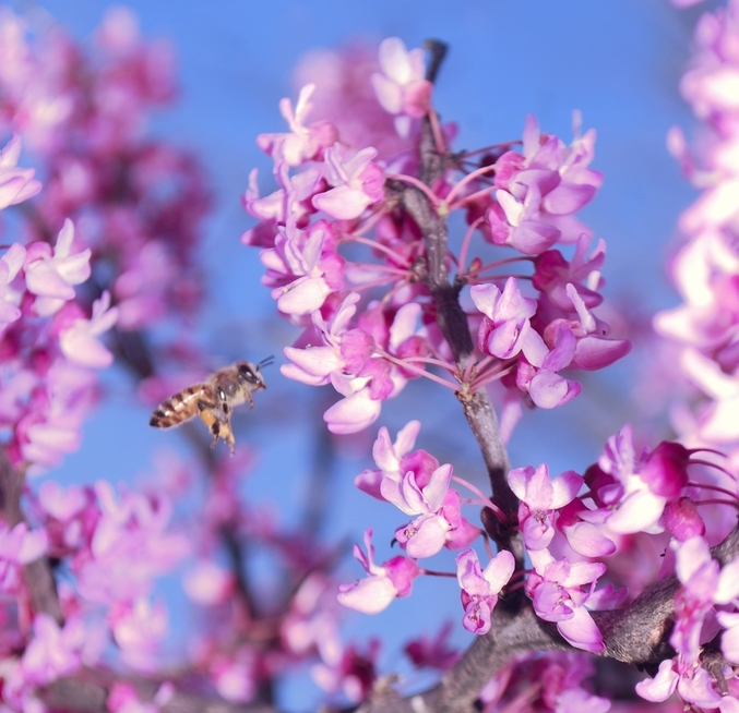 Redbud Flower with Bee
