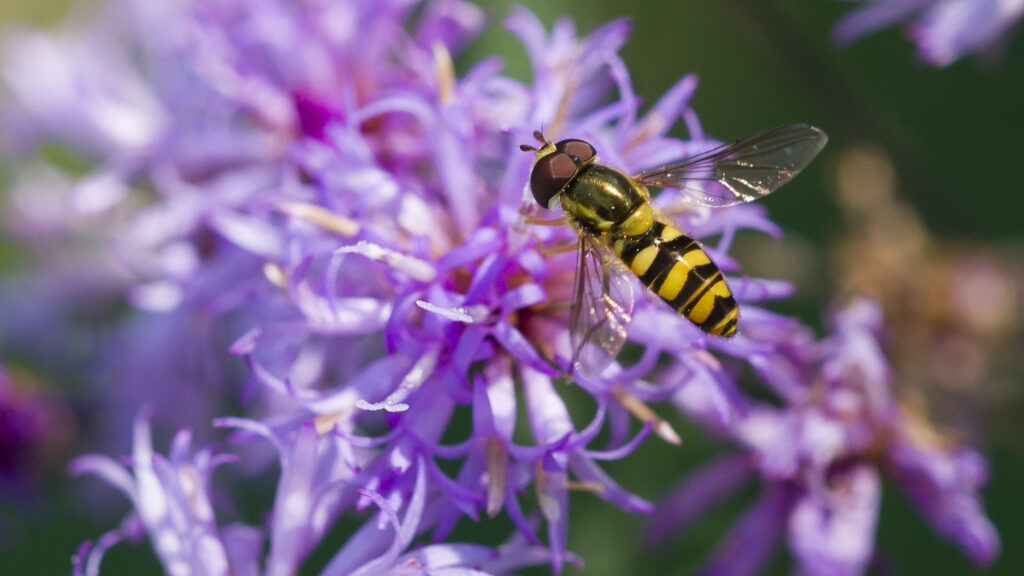 hoverfly on vernonia flowers