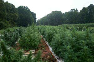 Hemp field in eastern NC