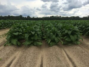 Cover photo for From the Field - Agronomy Notes: Vol. 5, Num. 2